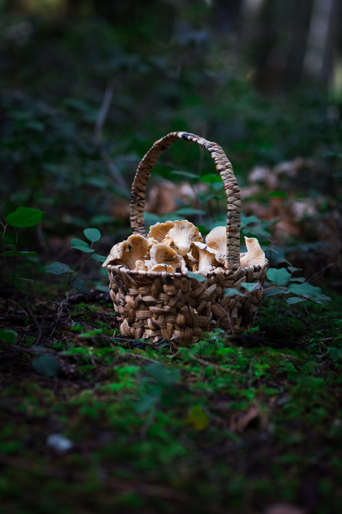 a basket of chanterelle mushrooms on the forest floor.