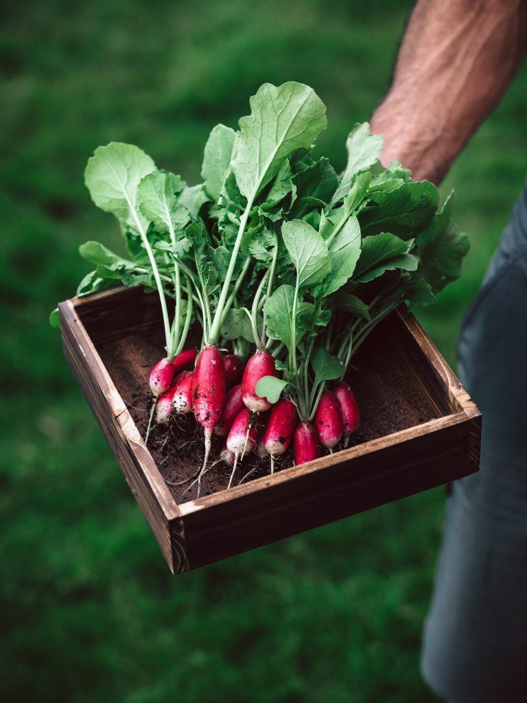 A farmer holding a box of fresh radishes.