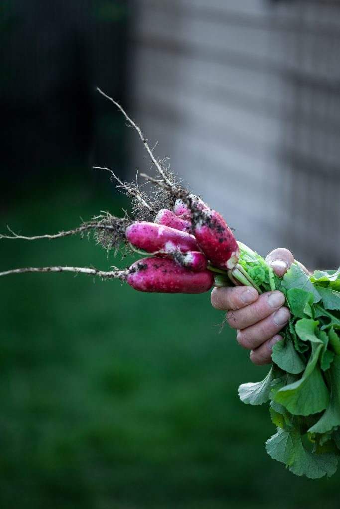 a hand holding a bunch of french radishes just pulled from the soil.