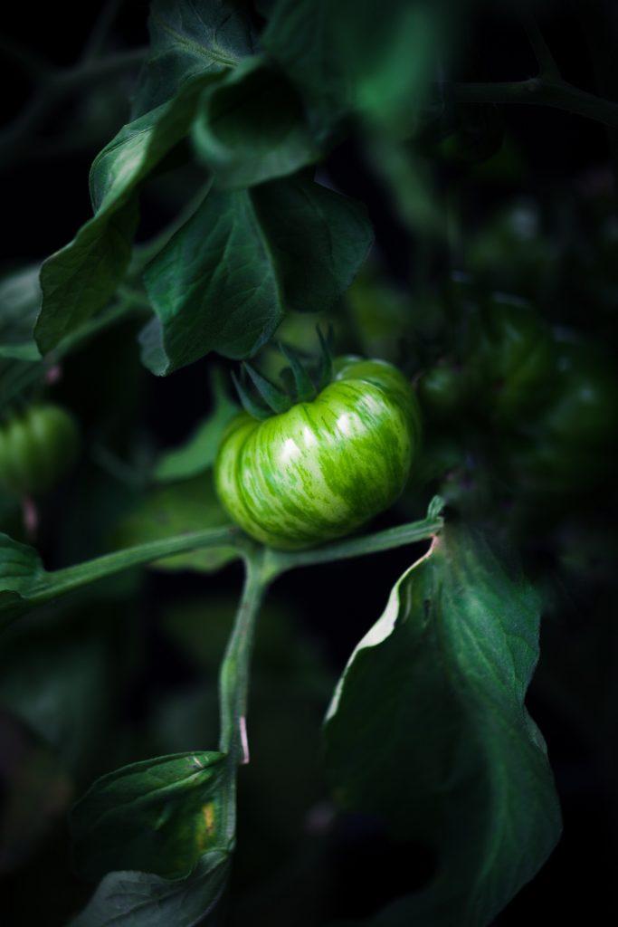 portrait of a green tomato on the vine.