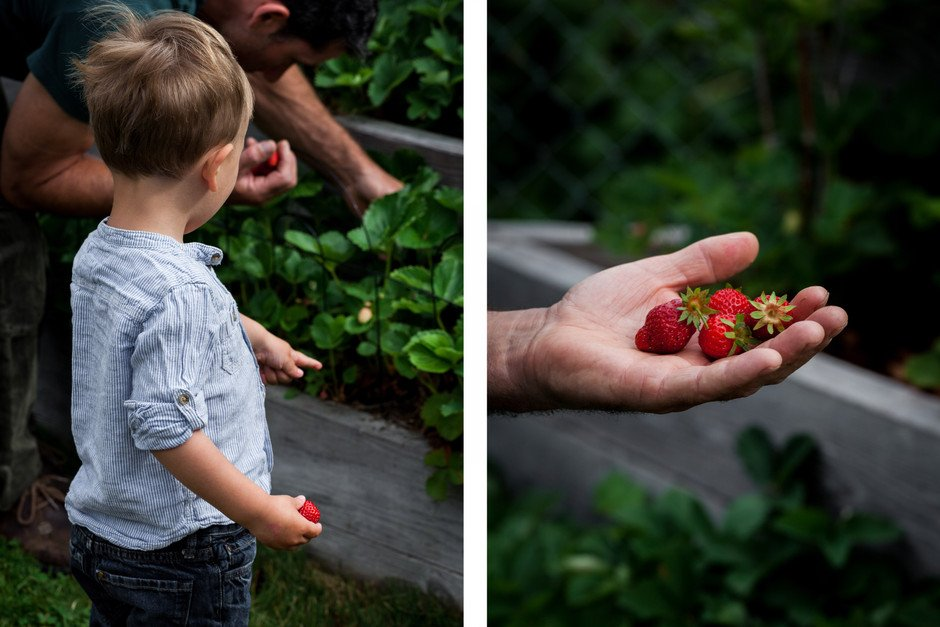 LEFT: a boy pointing at a strawberry patch. RIGHT: a hand holding fresh picked strawberries.