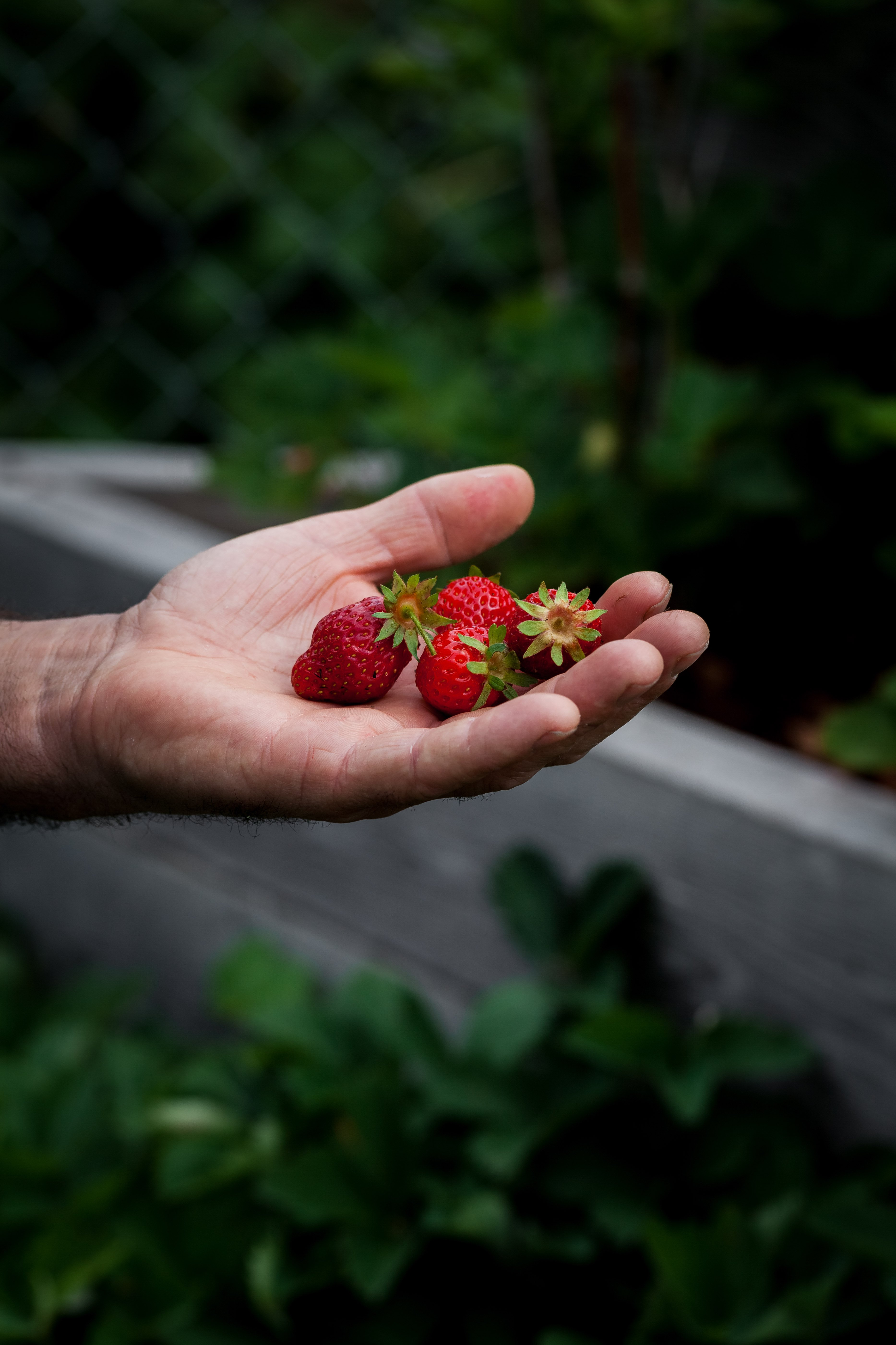 a head on image of a male hand holding strawberries.