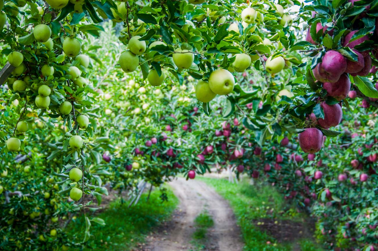 a gravel pathway in an apple orchard woth green and red apples growing on trees.