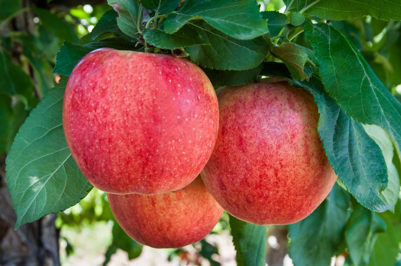 close up image of three red gala apples on an apple tree.